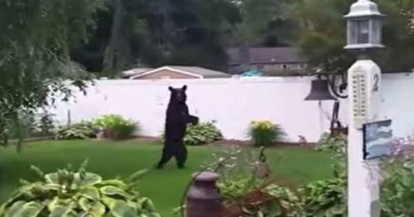 Η θλιβερή πραγματικότητα της αρκούδας που περπατά όρθια- Τι φοβούνται οι ειδικοί (βίντεο)