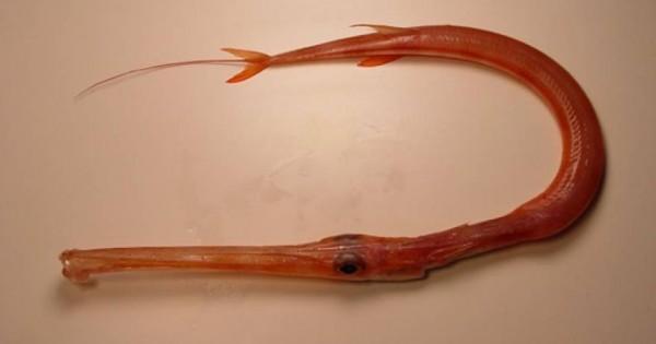 Επικίνδυνο δηλητηριώδες ψάρι εντοπίστηκε στο Ναύπλιο (φωτο)