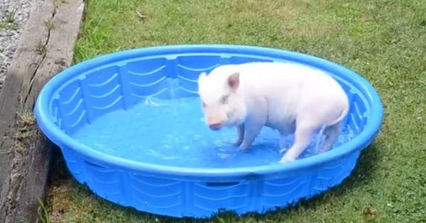Χαρούμενο γουρουνάκι πλατσουρίζει στην πισίνα (Βίντεο)