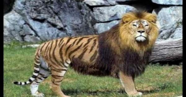 Τα 7 πιο σπάνια ζώα που δημιουργήθηκαν από διασταυρώσεις (video)