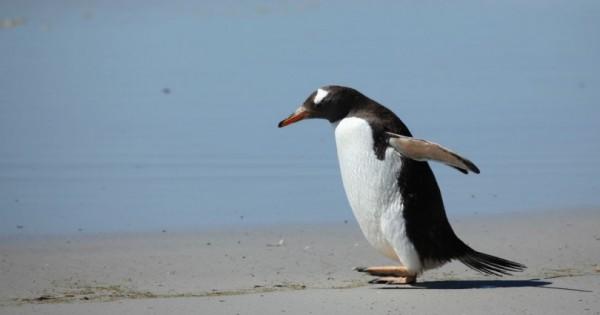 Πιγκουίνος «αντιστέκεται» στην αστυνομία του Περού – Δείτε το βίντεο