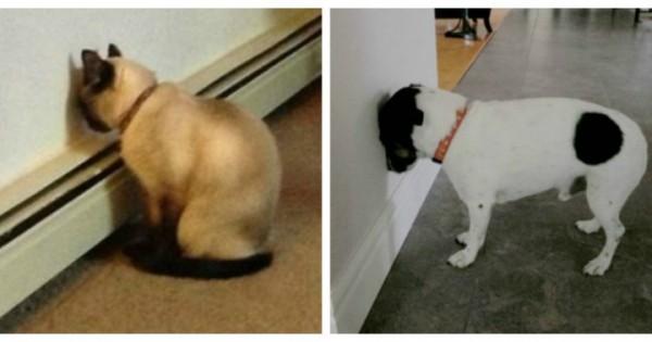 Αν δείτε το ζωάκι σας να σπρώχνει το κεφάλι του σε τοίχο, πηγαίνετε το το άμεσα σε κτηνίατρο (Εικόνες)
