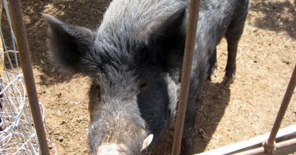 Το γουρούνι που έτρωγε… χόρτο (Εικόνες)
