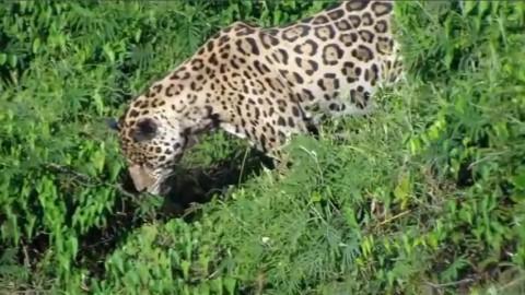 Τζάγκουαρ βουτά στο νερό και πιάνει έναν αλιγάτορα (Βίντεο)