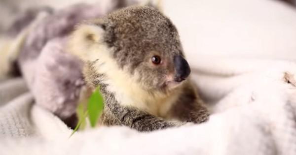 Σα ψεύτικο: Μωρό κοάλα ποζάρει για την 1η του φωτογράφιση! (Βίντεο)
