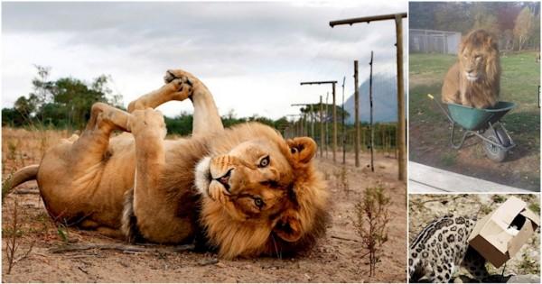 13 Τεράστιες Γάτες που δεν έχουν επίγνωση του μεγέθους τους! (Φωτογραφίες)