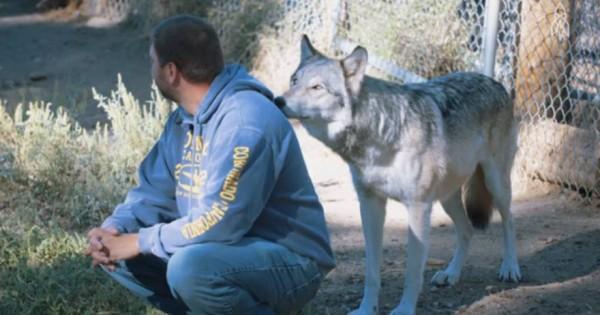 Λύκος πλησιάζει αθόρυβα έναν άντρα- Δείτε τώρα την αντίδρασή του μόλις γυρίσει το κεφάλι! (βίντεο)