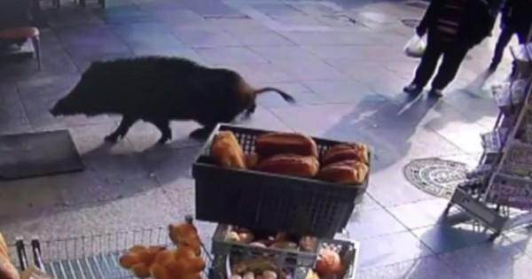 Αγριόχοιρος σκορπίζει τον τρόμο στην Κωνσταντινούπολη! [βίντεο]