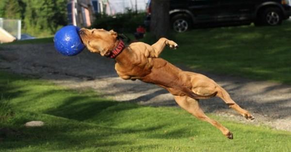 Σκύλος σωματοφύλακας: Το σούπερ pit bull που κάνει τα πάντα (Video)