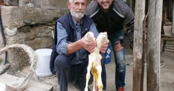 Δικέφαλο προβατάκι γεννήθηκε στην Ελασσόνα