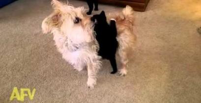 Το γατάκι στην πλάτη του σκύλου (Βίντεο)