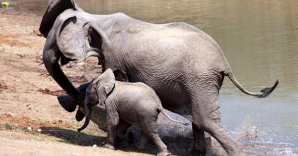 Γενναία ελεφαντίνα σώζει το μικρό της από κροκόδειλο (Εικόνες)