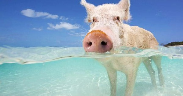 Κολυμπώντας μαζί με τα… γουρούνια! (Βίντεο)