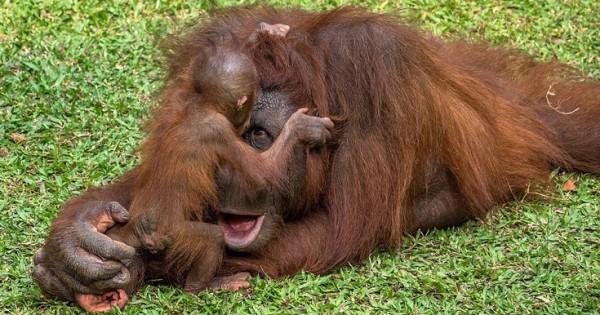 Μητέρα ουρακοτάγκος «χαμογελά» παίζοντας με το μικρό της (Εικόνες)