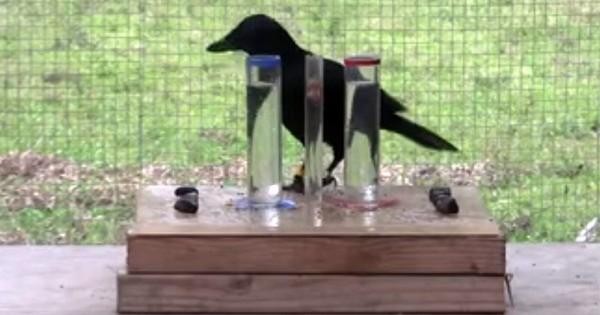 Το ξέρατε ότι τα κοράκια είναι πιο έξυπνα ακόμα και από τα παιδιά; (Βίντεο)