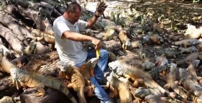 Ταΐζοντας 500 ιγκουάνα (Βίντεο)