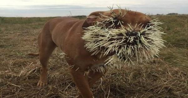 Τι συνέβη όταν μια παρέα σκύλων συνάντησε έναν σκαντζόχοιρο; [φωτο]