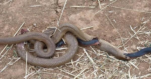 Φίδι φαίνεται πως έφαγε… φίδι! [φωτο]