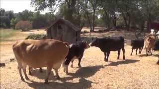 Μικρές αγελάδες κάνουν σαν τρελές μόλις αντικρύζουν τη νέα τους αγέλη! (Βίντεο)