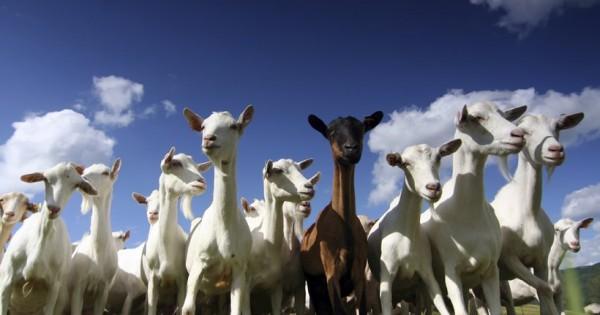 Κατσίκες που… αερίζονταν, εξανάγκασαν κάργκο σε έκτακτη προσγείωση!