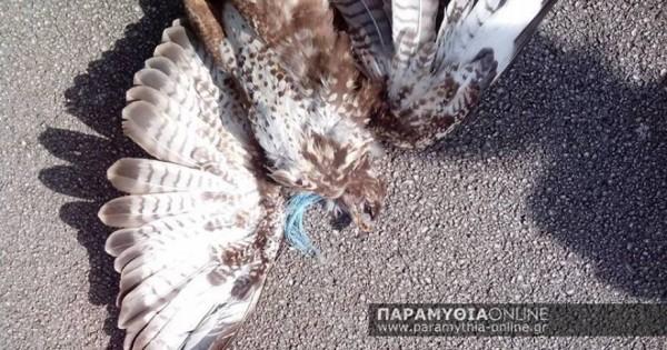 Θεσπρωτία: Βασάνισαν και θανάτωσαν σπάνιο είδος γερακιού