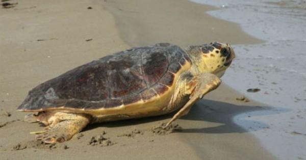 Επιστροφή στο νερό για δυο χελώνες Caretta Caretta
