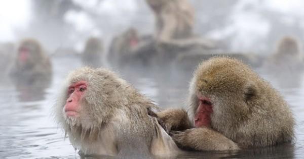 Οι… μαϊμούδες του χιονιού (Εικόνες)