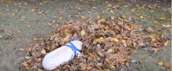 Willow το μικρό γουρουνάκι που τρελάθηκε όταν είδε πεσμένα φύλλα δέντρων (Βίντεο)