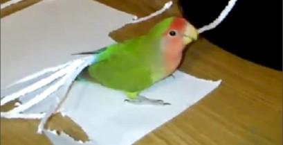 Ο παπαγάλος βάζει extension στα φτερά του (Βίντεο)