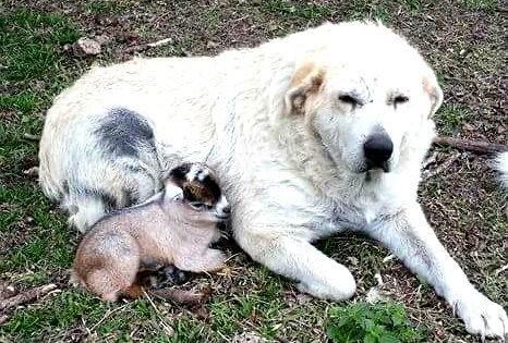 8 σκυλάκια που ερωτεύτηκαν… κατσίκες! (Φωτογραφίες)