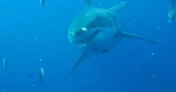 Είναι ο «Deep Blue» μεγαλύτερος λευκός καρχαρίας που έχει βιντεοσκοπηθεί;