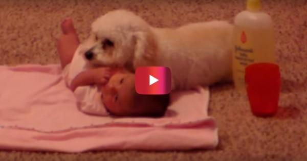 Πρέπει να δείτε τι έκανε αυτός ο σκύλος όταν νόμιζε ότι το μωρό της οικογένειας βρισκόταν σε κίνδυνο. (Βίντεο)