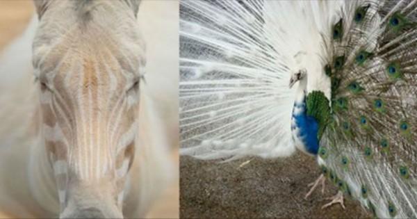 21 ζώα με αλμπινισμό που δεν χρειάζονται χρώμα για να είναι πανέμορφα! (Φωτογραφίες)