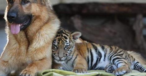 Δεκάδες Γερμανικοί Ποιμενικοί προστατεύουν τις τίγρεις στην Ινδία (Βίντεο)