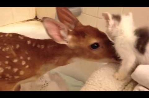 ΠΡΟΣΟΧΗ – Έκρηξη συναισθημάτων: Μωρό ελαφάκι συναντά μικρό γατάκι! (Βίντεο)