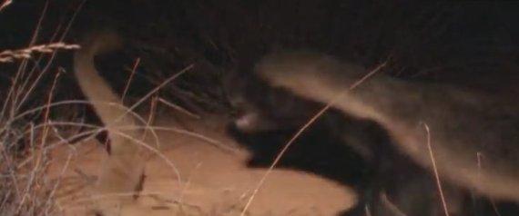 Εξολοθρευτές επικίνδυνων φιδιών που δεν σας γεμίζουν με τίποτα το μάτι: Μαγκούστα, σκαντζόχοιροι και ασβοί (Βίντεο)