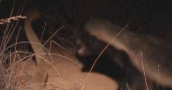 Εξολοθρευτές επικίνδυνων φιδιών που δεν σας γεμίζουν με τίποτα το μάτι: Μαγκούστα, σκαντζόχοιροι και ασβοί [βίντεο]