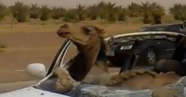 Τροχαίο: Καμήλα σφήνωσε στη θέση του συνοδηγού! [βίντεο]