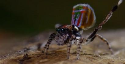 Ο χορός της αράχνης (Βίντεο)