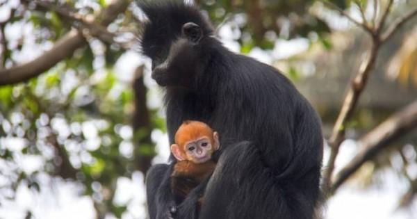 Το αξιολάτρευτο πορτοκαλί μαϊμουδάκι Nangua (φωτό & βίντεο)