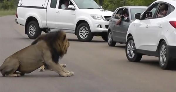 Λιοντάρι δείχνει σε τουρίστα, γιατί δεν πρέπει να βγαίνει από το αυτοκίνητό του. (Βίντεο)