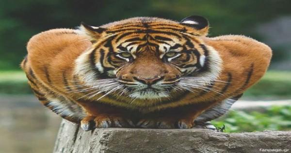 Απίστευτες εικόνες: Δείτε την πιο μεγάλη τίγρη του κόσμου…!