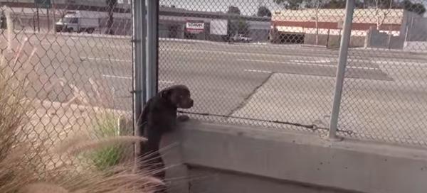 Αυτό το άστεγο και φοβισμένο pitbull γνωρίζει την αγάπη για πρώτη φορά
