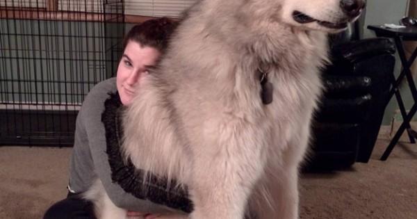 7 σκύλοι τόσο μεγάλοι που δε θα πιστεύετε ότι είναι αληθινοί! (Εικόνες)