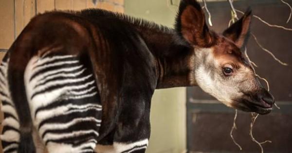 Νεογέννητο οκάπι σκορπά χαρά στο ζωολογικό κήπο της Αμβέρσας (Εικόνες)