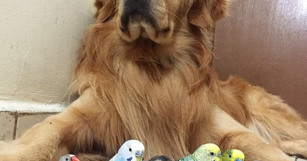 Το Golden Retriever που «αράζει» με ένα χάμστερ και διάφορα πουλάκια (Εικόνες)