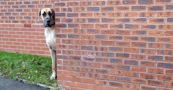 Ο γίγαντας των 80 κιλών… που κρύβεται όταν συναντά μικρότερα σκυλιά! (φωτό & βίντεο)