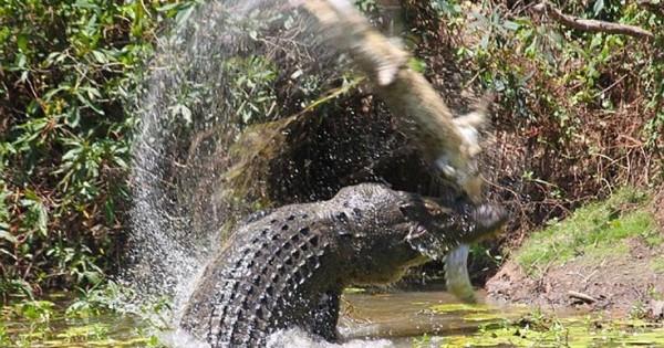 Κροκόδειλος-κανίβαλος καταβροχθίζει μικρότερό του (Εικόνες)