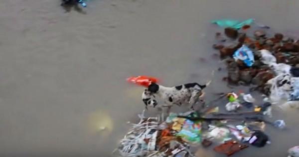 Σκυλίτσα σώζει τα κουτάβια της στις πλημμύρες της Ινδίας (Βίντεο)