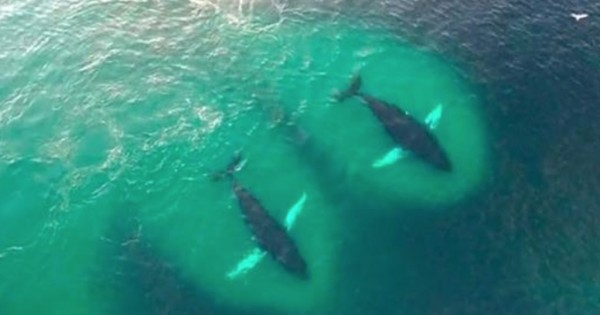 Drone κατέγραψε ένα κοπάδι από φάλαινες την ώρα που τρώνε με μανία! (Βίντεο)